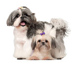 Shih Tzu, 3 years old and 9 months old, standing against white background