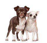 Chihuahuas, 2 and 4 years old, standing against white background