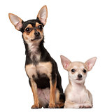 Chihuahua puppy, 3 months old and a 1 year old, sitting against white background
