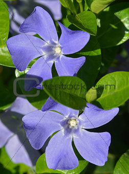 Periwinkle - close-up