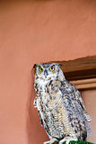 Owl on Perch by Adobe Wall