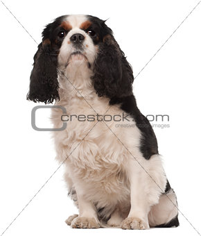 Cavalier King Charles, 3 years old, sitting against white background