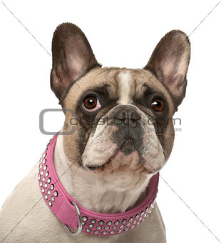 French Bulldog, 4 years old, against white background