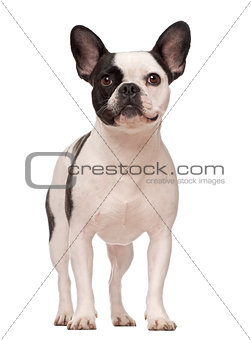 French Bulldog, 3 years old, standing against white background