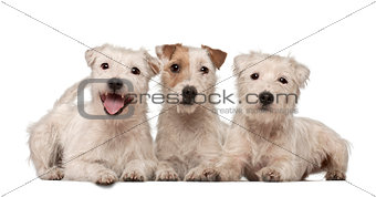 Group of Parson Russell Terriers lying against white background