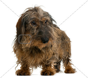 Dachshund looking away, isolated on white
