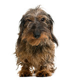 Dachshund looking at the camera, isolated on white