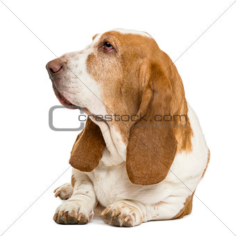 Basset Hound lying and looking left, isolated on white