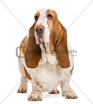 Basset Hound standing and looking away, isolated on white