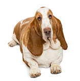 High view of a Basset Hound looking at the camera , isolated on
