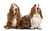Two Basset Hounds and a Dachshund sitting, isolated on white