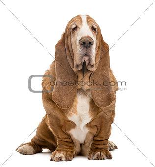 Old Basset Hound sitting, isolated on white