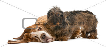 Dachshund standing next to a Basset Hound lying, isolated on whi