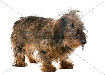 Dachshund looking right, isolated on white