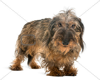 Dachshund looking at the camera and smiling, isolated on white