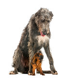 Scottish Deerhound sitting over a Petit Brabancon, isolated on w