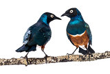two Superbs Starling on a branch - Lamprotornis superbus - isola