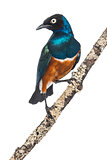 Superb Starling on a branch - Lamprotornis superbus - isolated o