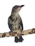 Juvenile Metallic Starling - Aplonis metallica - Isolated on whi
