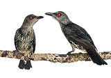 Two Juveniles Metallic Starling - Aplonis metallica - Isolated o