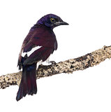 Male Violet-backed Starling on a branch - Cinnyricinclus leucoga