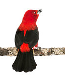 Rear view of a Brazilian Tanager tweeting perched on a branch -