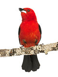Brazilian Tanager tweeting perched on a branch - Ramphocelus bre