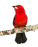 Brazilian Tanager perched on a branch - Ramphocelus bresilius -