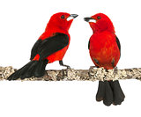 two Brazilian Tanager perched on a branch - Ramphocelus bresiliu