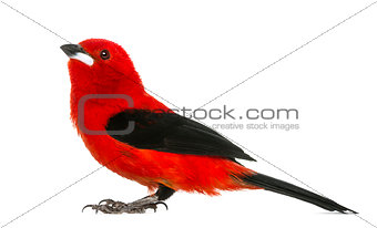 Brazilian Tanager - Ramphocelus bresilius - isolated on white