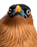Close-up of a Brahminy Myna - Sturnia pagodarum - isolated on wh