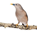 Chestnut-tailed Starling perched on a branch - Sturnia malabaric