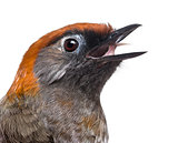 Close-up of a Red-tailed Laughingthrush tweeting- Garrulax milne