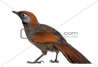 Back view on a Red-tailed Laughingthrush - Garrulax milnei, isol