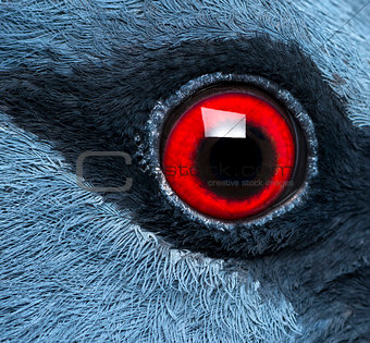 Close up of Victoria Crowned Pigeon's eye - Goura victoria
