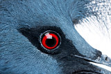 Close-up of Victoria Crowned Pigeon - Goura victoria