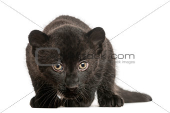 Black Leopard cub, 3 weeks old, staring and prowling, isolated o