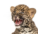 Spotted Leopard cub roaring - Panthera pardus, 7 weeks old, isol