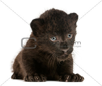 Black Leopard cub lying, 3 weeks old, isolated on white