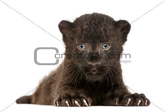 Black Leopard cub facing and lying down, 3 weeks old, isolated o