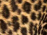 Macro of a Spotted Leopard cub's fur - Panthera pardus, 7 weeks