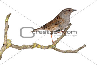 Gobemouche perched on a branch - Muscicapa striata, isolated on