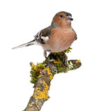 Male Common Chaffinch - Fringilla coelebs on branch