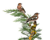 Two Common Chaffinch Males - Fringilla coelebs - perched on a gr
