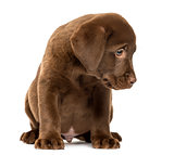Labrador Retriever Puppy sitting, 2 months old, isolated on whit
