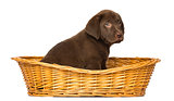 Labrador Retriever Puppy sitting in a wicker basket, 2 months ol