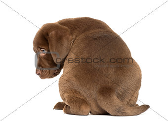 Back view of a Labrador Retriever Puppy sitting, 2 months old, i