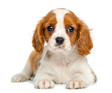 Cavalier King Charles Puppy lying and facing, isolated on white