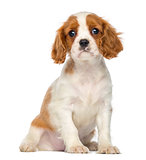 Cavalier King Charles Puppy sitting, 2 months old, isolated on w