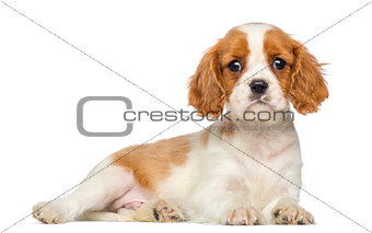 Cavalier King Charles Puppy lying and staring, 2 months old, iso